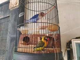 Burung Lovebird sepasang warna violet dan hijau sudah betelur fulset
