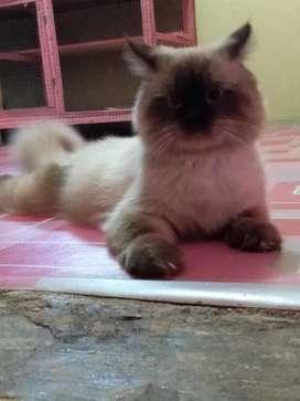Kucing ras Persia himalaya