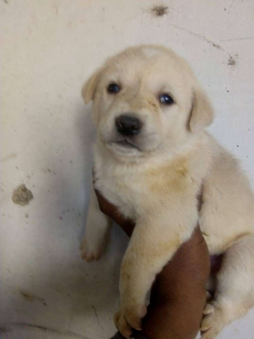 Golden Retrievers and Labradors Puppies reasonable in price