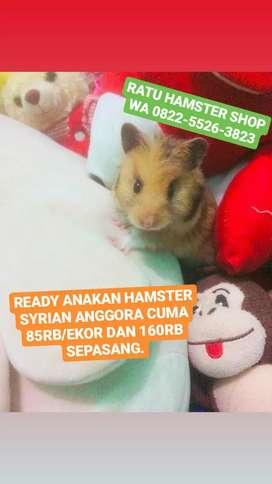 Hamster Syrian jenis Anggora Jinak Terawat