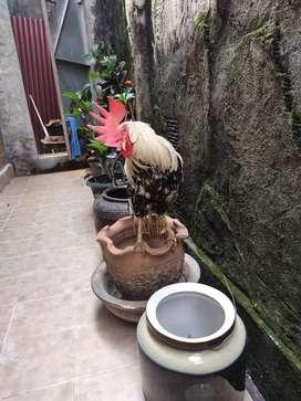 Ayam onagadori sepasang