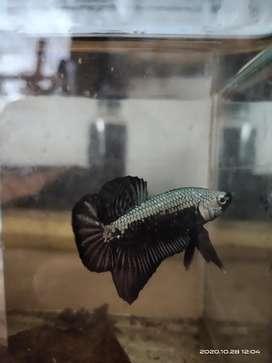 Ikan cupang black samurai grade A
