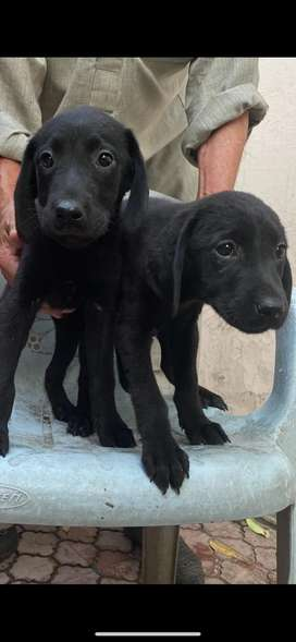 2 labrador puppies female for sale