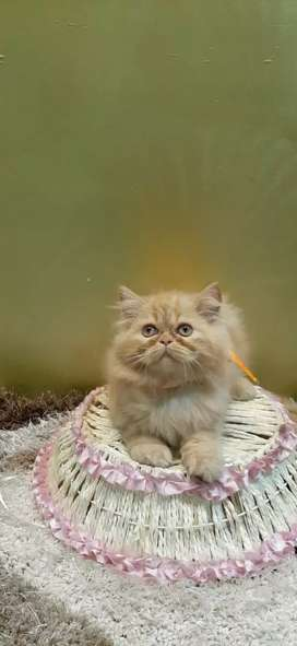 Cu5 and healthy Persian Kittens are available