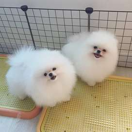 Adorable Pomeranian Puppies for you this Christmas