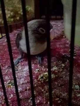 Lovebird murah ajah bro