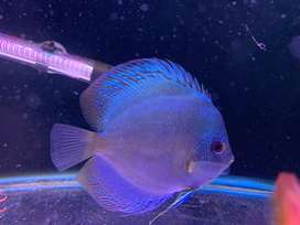 6inch  size discus fish