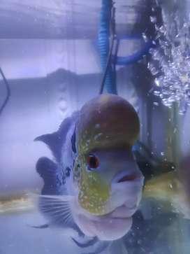 Ikan louhan lohan ukuran 5 jari, murah