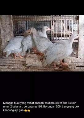 Ayam mutiara umur 2 bulanan lebih