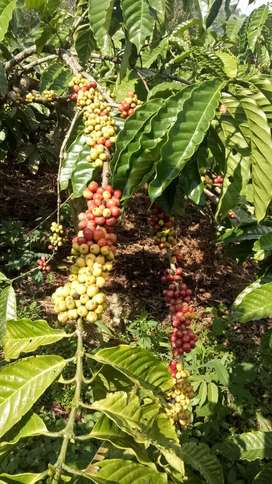 Di jual cpet kebon kopi ,cocok buat investasi jangka panjang