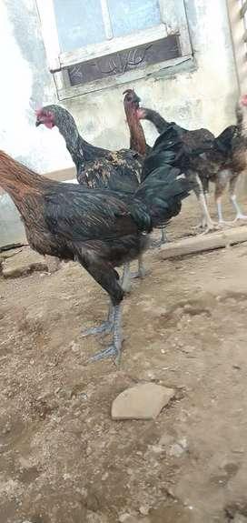 Ayam pelung super usia 5 bln