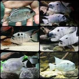 ikan vieja argentea untuk aquarium