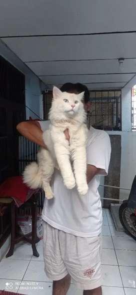 Jasa Pacak Kucing Persia Himalaya Bigbone