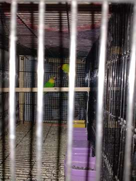 Brids and cage for sale