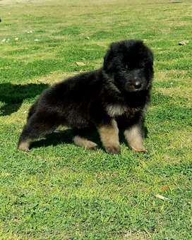 German Shepherd  double cot pair 2 month for sale