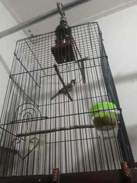 Burung masteran gerejaa gacor
