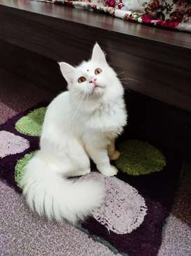 White Persian cat doll face