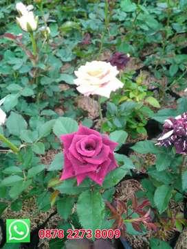 Jual bibit bunga mawar ready banyak berbagai warna lokasi kota batu