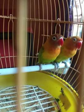 Lovebird pasangan resmi murah