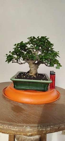 Tanaman hias/bonsai sancang