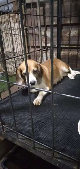 Beagle induk usia 2 tahunan