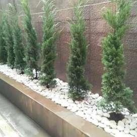 Jual tanaman hias pohon cemara lilin tinggi 100-120cm.n