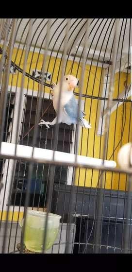 2 ekor burung love bird pred sepasang remaja + kandang dayang