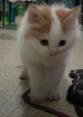 Kucing persia imut dan lucu