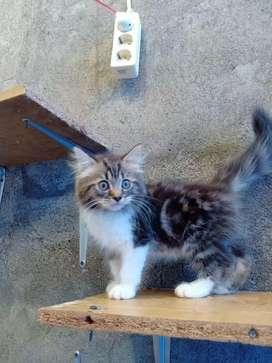 Kucing Persia Marble