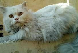 Persian punch face male cat
