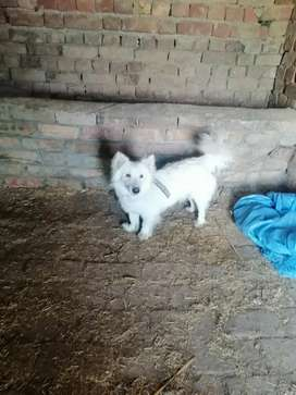 Rasian import dog forsale