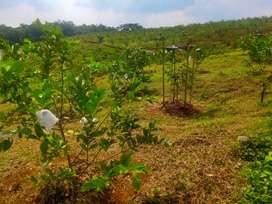 Miliki Kavling Kebun Buah Invest Masa Depan