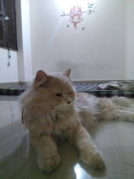 Not for Sale, Adult Persian Cat available for mating.