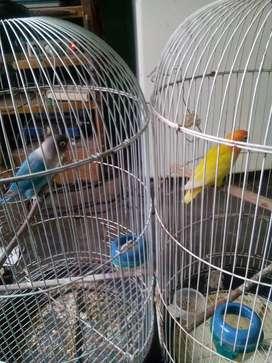 Burung lovebrid 2 ekor