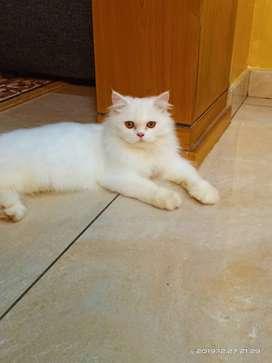Persian cat male semi punch face