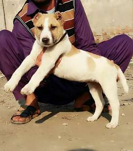 Alabai male 2 manth for sale