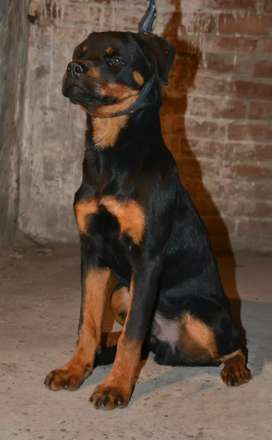 Rottweiler Male for Sale