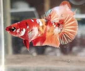 Ikan cupang jenis baru