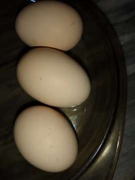 EGGS OF PLYMOUTH ROCK HENS AT PRICE 200 per egg