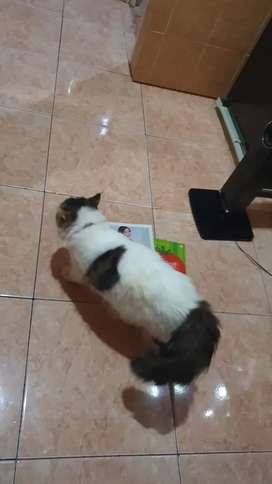 Kucing manis persia