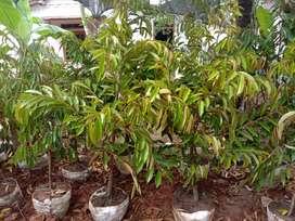 Jual bibit durian duri hitam atau ocee dongkelan berkualitas