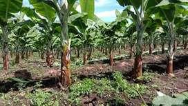 Tanah menguntungkan beli bonus kebun pisang cavendish SHM