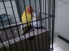 burung love bird sepasang