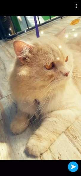 Persian male cat Matting