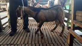 jual kambing qurban 20-50kilo murah meriah layak qurban banyak pilihan