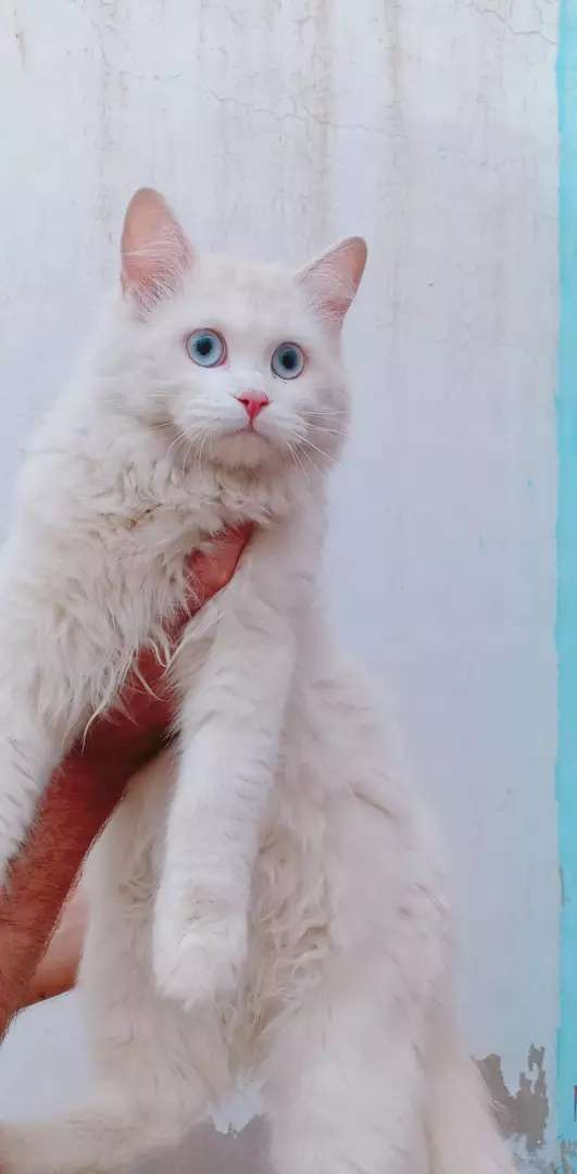Blue eyes female pure white colour Tripple coated