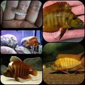 Ikan orange calvus untuk aquarium