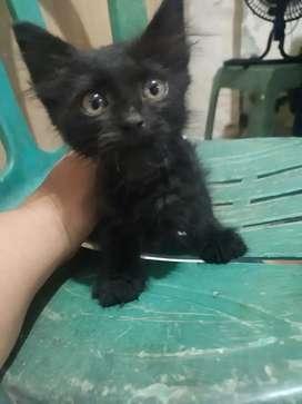 Kitten black panther mumerrr