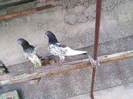 Teddy Pigeons for sale.