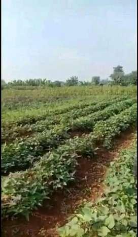 Lahan kebun kentang di pangalengan bandung dingin